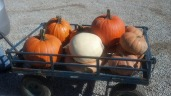 Pumpkins from a local farmers market...