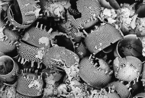 Diatomaceous Earth-Diatoms