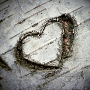 "A Carved ""Heart of Love"" on a White Birch Tree. Shallow DOF."