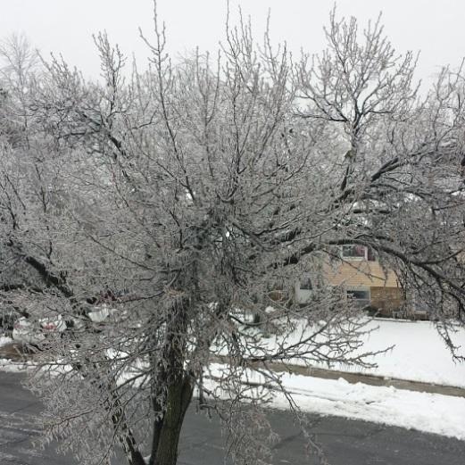 Ice covered tree.