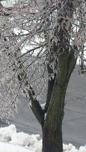 Ice covered tree in my yard.