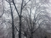 Ice covered trees.
