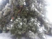 Pine tree covered in ice