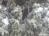 Part of a pine tree covered in ice