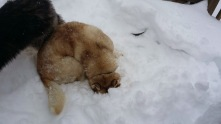 Tsunami burying her face in the snow.